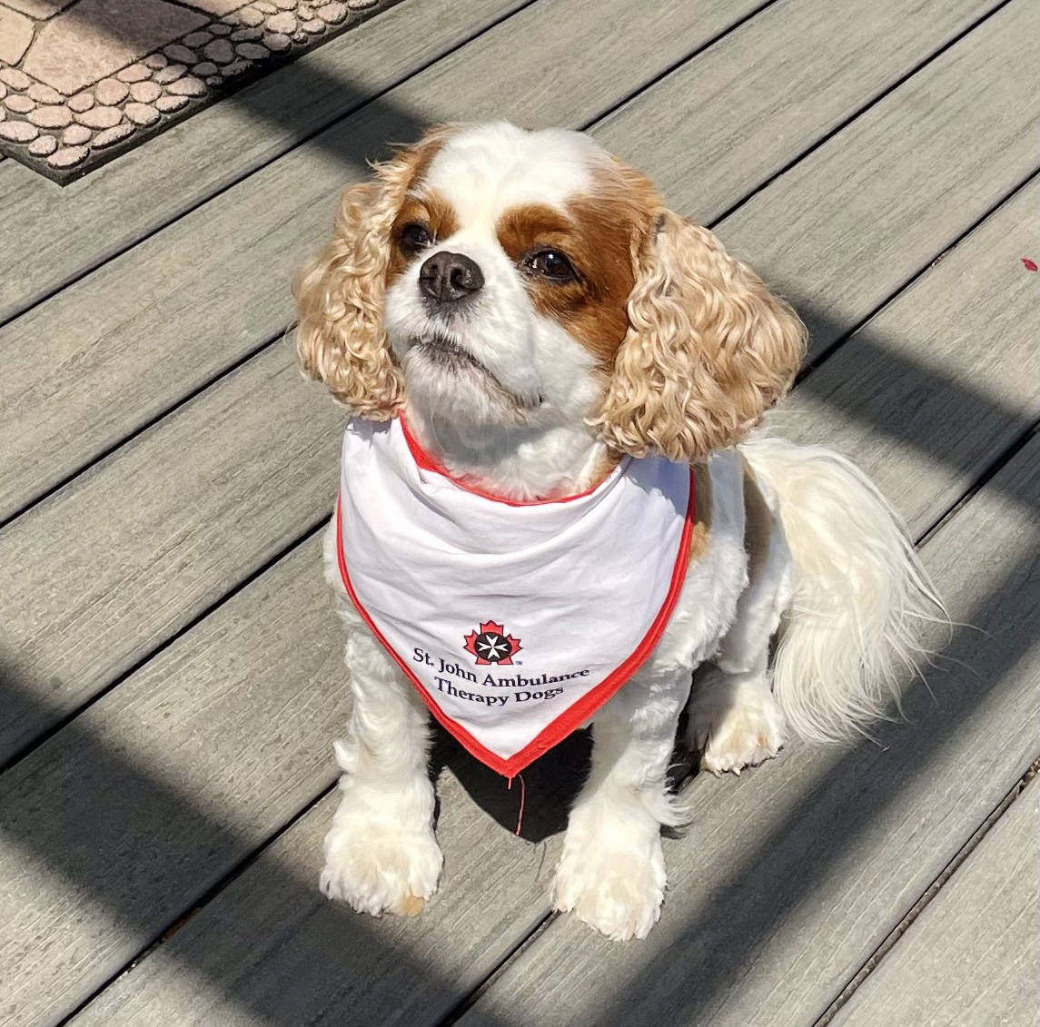 Langley therapy dog Ruby will be visiting a retirement home in Surrey on Aug. 5 2021 to mark Work Like a Dog Day as St. John Ambulance celebrates the return of in-person visits. (Anna Tilley/Special to Langley Advance Times)